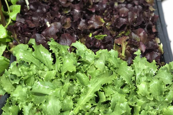 Pulizia verdura roma